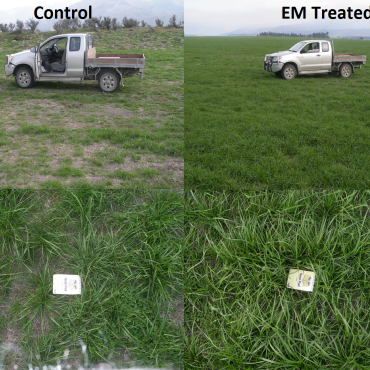 EM Trial on pasture renovation with Roundup
