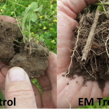 Showing the Improved Root structure of EM treated pasture