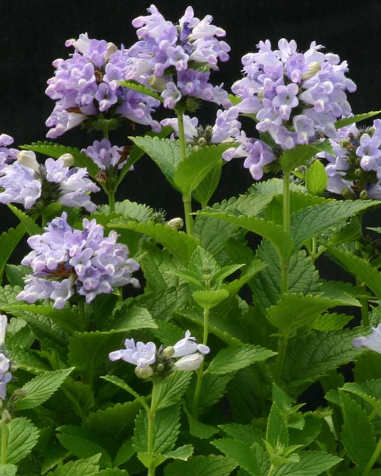 nepeta-subsessilis-blue-panther
