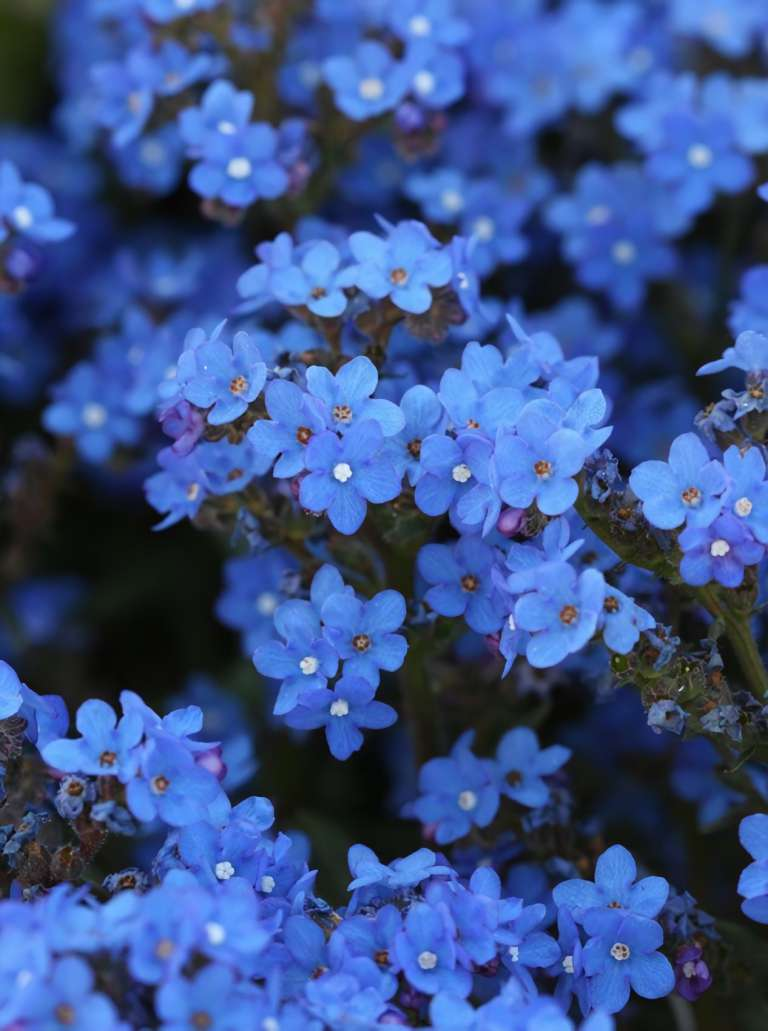 Anchusa capensis ''Blue Angel'' SEEDS