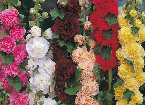 Hollyhock ''Chaters Double MIx'' SEEDS