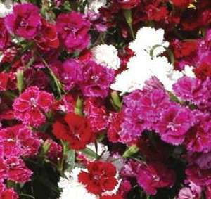 Dianthus ''Dynasty Double Mix'' SEEDS