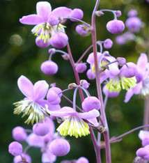 Thalictrum delavayi ''Chinese Meadow Rue''