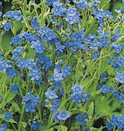 Cynoglossum amabile ''Chinese Forget-Me-Not'' SEEDS