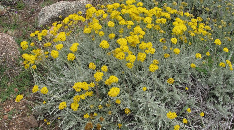 The essential oil of Helichrysum